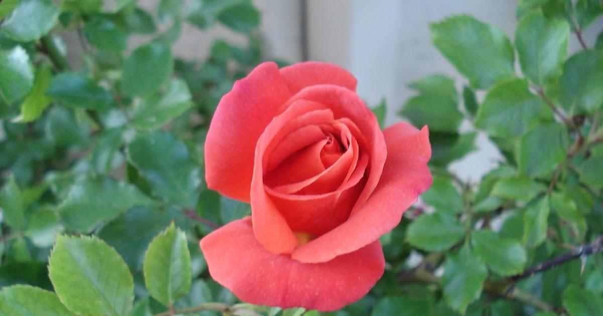 Disneyland Rose Bush