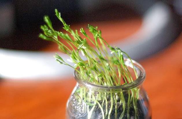 الذكورة مخبأ مغامرة مراحل نمو نبتة العدس في القطن Dsvdedommel Com
