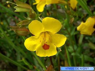 Mimule tacheté - Mimulus guttatus