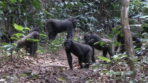 Scientific study reveals the enigmas on social behaviour of western lowland gorillas