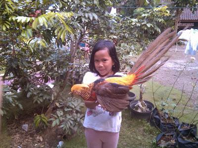 peluang usaha ternak ayam hias
