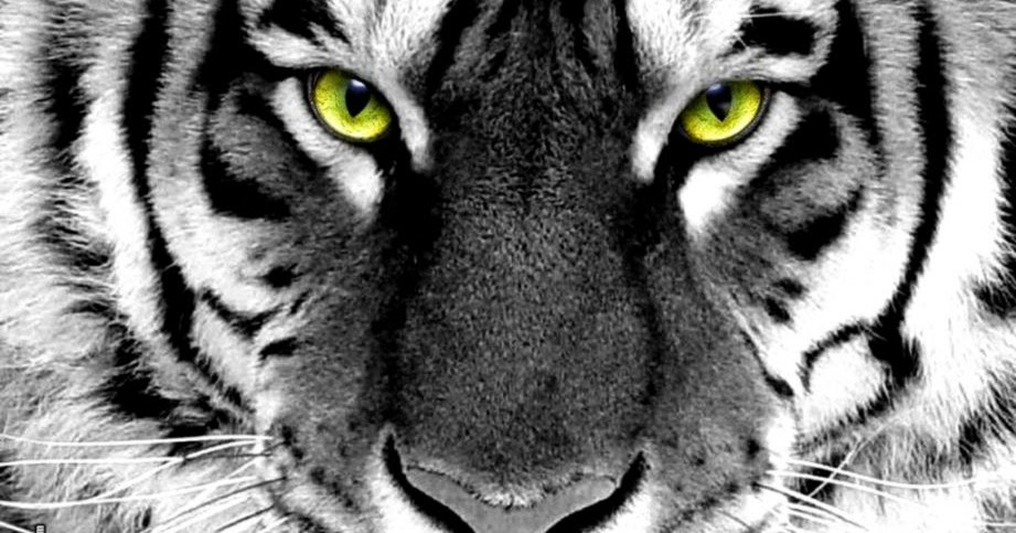 White Tiger Face Wallpaper | Wallpapers Gallery