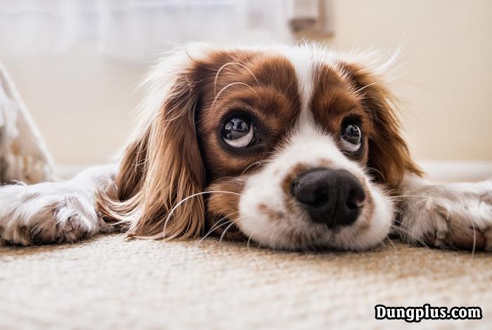 đôi mắt đẹp của chó con