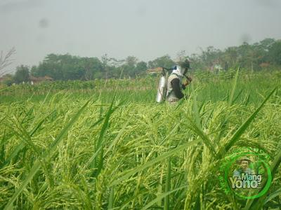 FOTO 2 :  Penyemprotan Score Padi NAZWA 58 HST   di Sawah Rawa, Cibandung   Sudah matang susu.  80 HST Panen