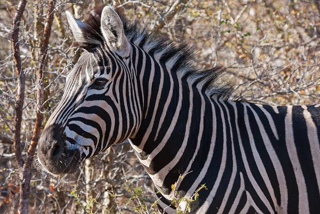 zebra   kruger safari sud africa