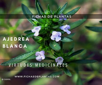 Ajedrea Blanca Plantas Aromaticas y Medicinales del bosque mediterraneo