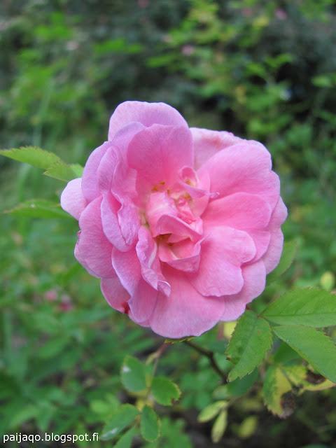 ilo puistoruusu kukka