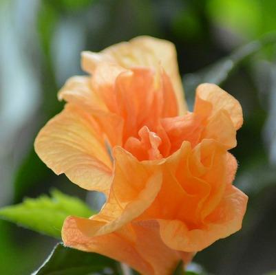 Hibiscus rose (chinese rose) = kecantikan yang halus dan lembut