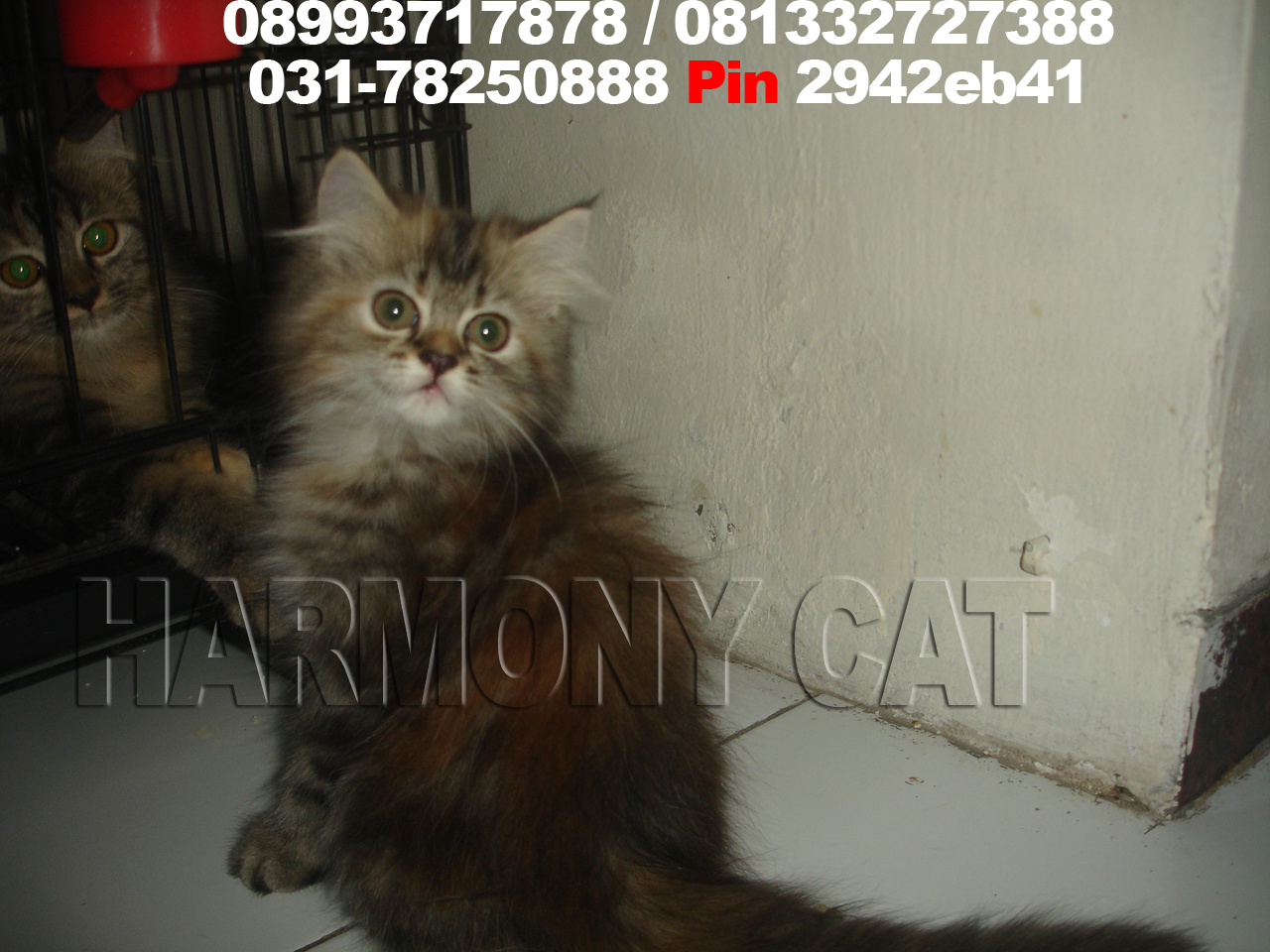 Jual Kucing Blacan Surabaya Flauschige Katzen