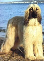 razas de perros grandes afgano