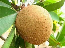 poto ciri ciri pohon sawo kecik