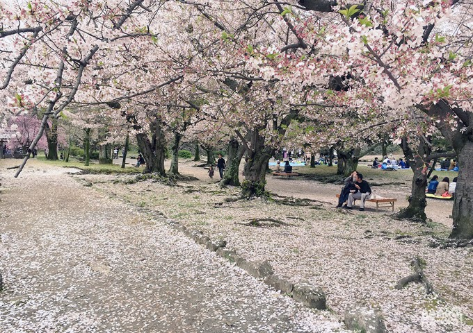"Cherry tree ""sakura"" at Maizuru park, Fukuoka"