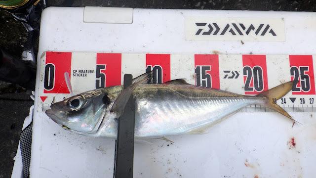 アジ 京浜 オーナーアジB胴突7号 + レイン チビキャロスワンプ