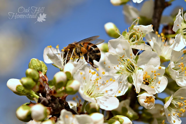 First signs of spring: the fruit trees begin to bloom and the bees aren't far behind.