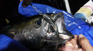 Casting yellowfin tuna dengan umpan soft lure