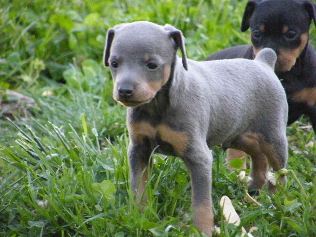 pin miniature pinscher pup - photo #6