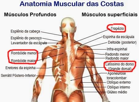 Remada Curvada - Anatomia Muscular das Costas