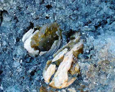Calcite Fossilized Clams Collecting in Florida
