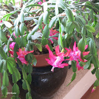 Christmas cactus, Junior