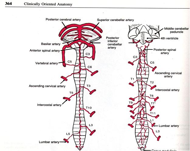 Central Nervous System(CNS) -Blood Supply ~ Dentistry and Medicine