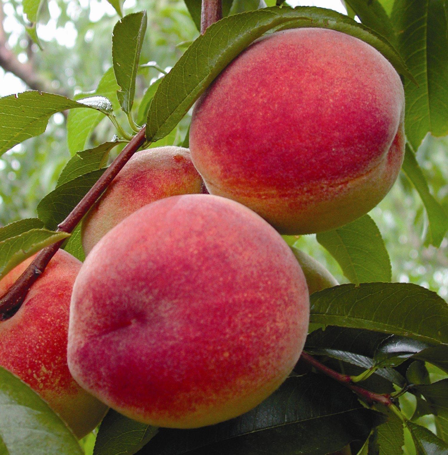 Calm-Sojourner: Name of Fruits in English to Mizo language (Translation)