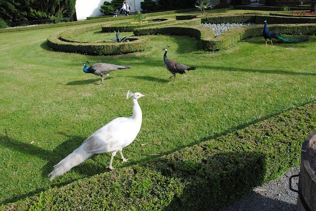 Biały paw w Ogrodzie Pałacowym w Kromieryż