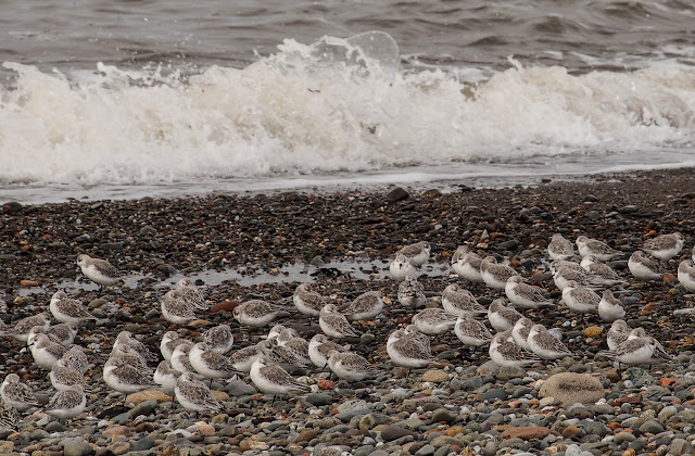 A photo showing a closer view of some of the sandpipers