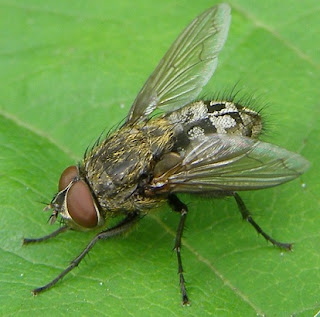 cara mengusir lalat dirumah secara alami
