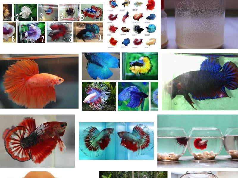 Cara Agar Ikan Cupang Cepat Besar