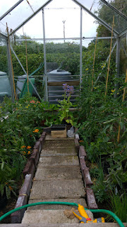 Greenhouse tomatoes with companion plants of marigold, borage and chives