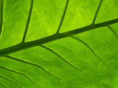 Allan Gardens Conservatory Philodendron leaf underside by garden muses-not another Toronto gardening blog