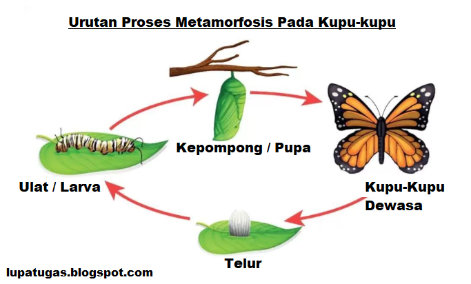 penjelasan metamorfosis kupu kupu