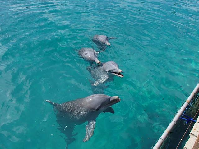 Blue Lagoon dolphins