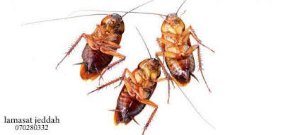 القضاء على الصراصير الصغيرة في المطبخ , صراصير المجاري