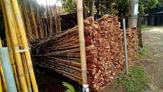 :Jual Pohon Bambu Jepang,Jual Jenis Pohon Bambu Hias,Jual Pohon bambu Jepang Murah,Jual Tanaman Bambu Untuk Pagar