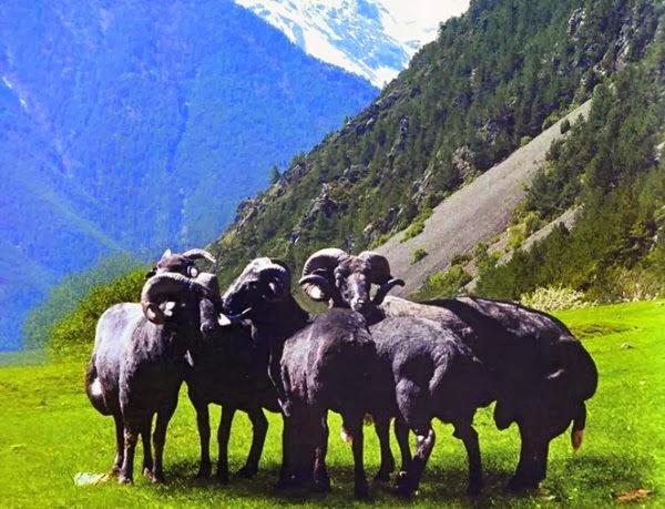 овцы карачаевской породы