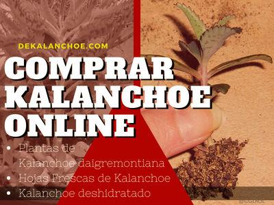 Comprar Kalanchoe daigemontiana Online en España