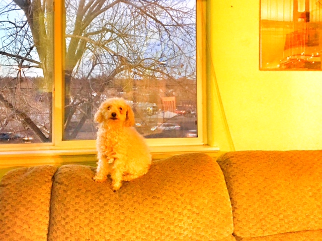 miniature poodle, aww Mondays, dog on couch