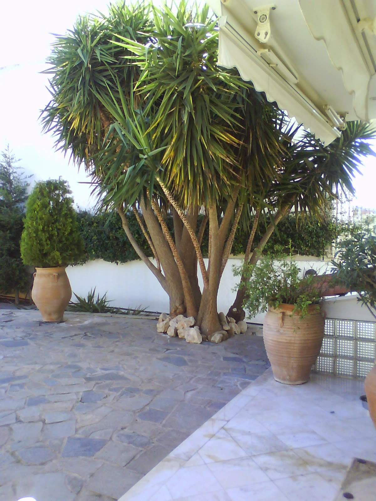 Huge yucca tree