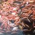 Pakan Alami dan Alternatif Ternak Ikan Nila