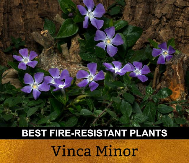 Best Fire Resistant Plants Vinca Minor Periwinkle