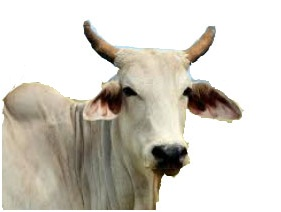 10 Sentences about Cow in Hindi