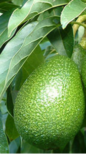 Serious Side Effects Of Avocados (Butter Fruit) You must restrict the consumption of Avocado fruit if you are on diet
