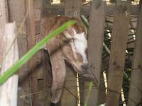 Menternak kambing, bela kambing, ternak lembu, ternak kambing