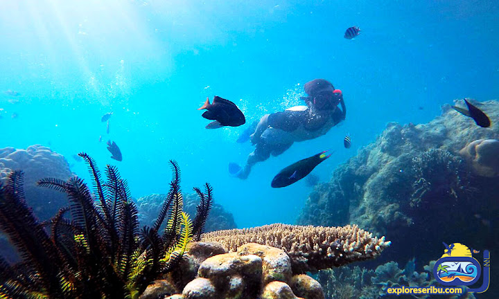 snorkeling di wisata pulau harapan - sebira