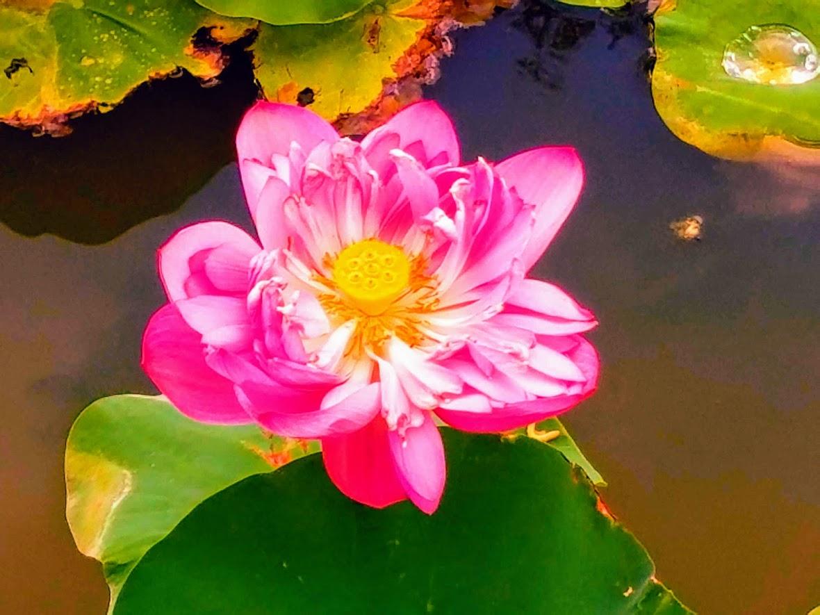Lotus Photo Effects James Zaworskis Blog