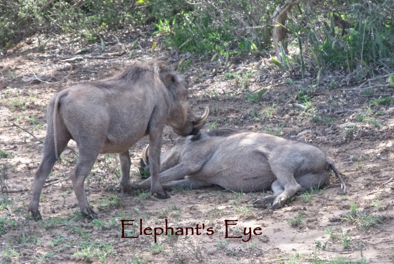 Pair of warthogs at Addo
