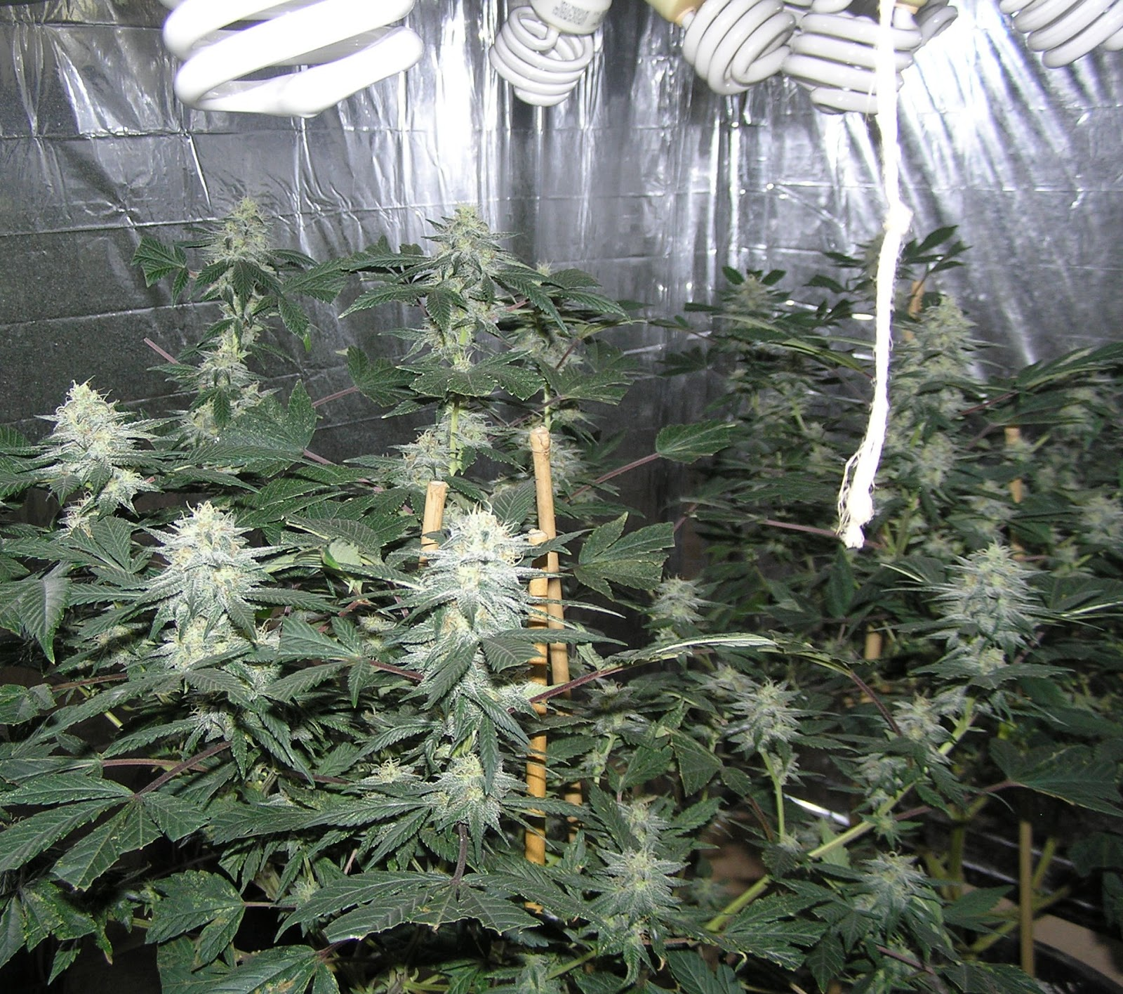 What Cfls For Growing Weed
