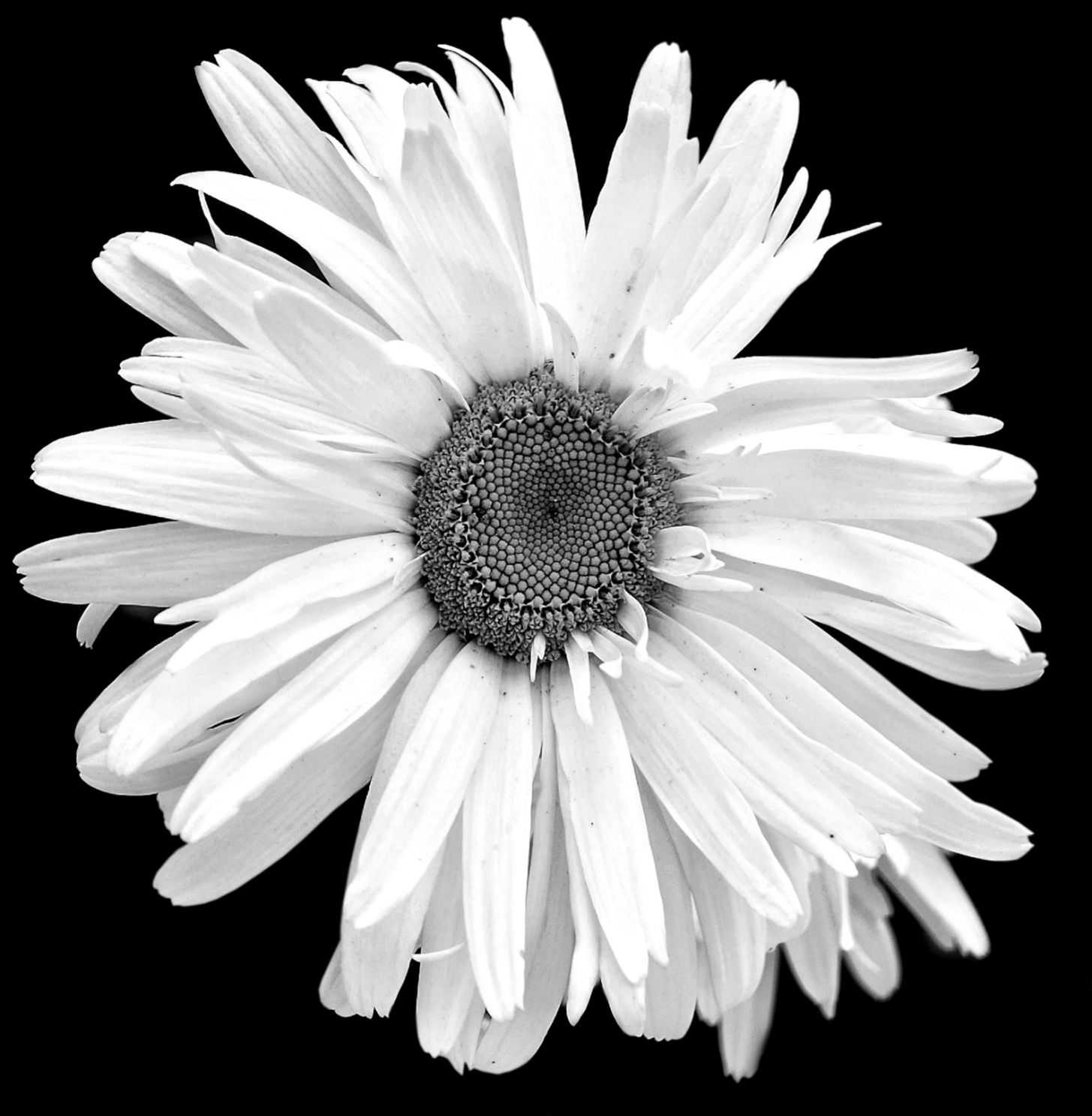 Black And White Daisy Photography Amazing Wallpapers