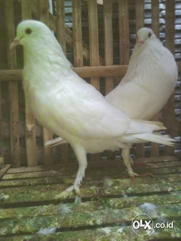 Jual Merpati Putih Gondok Cantik Sepasang Murah   Burung 9